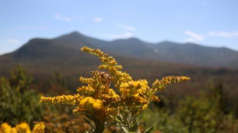 Solidagos en flor en el Green Mountain National Forest