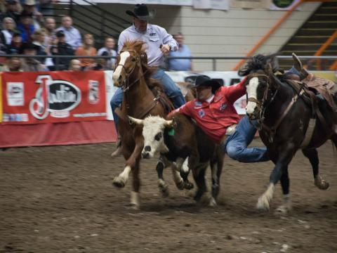 Steer wrestling action at Black Hills Stock Show and Rodeo