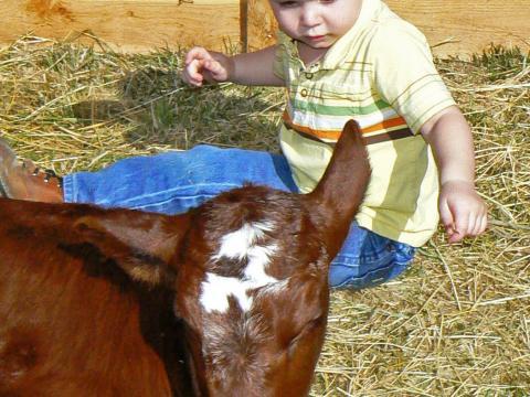 Un niño saluda a un ternero en el día del animal bebé en el American West Heritage Center