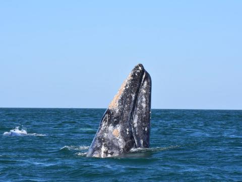 Avistamiento de una ballena fuera de la costa en Oxnard, California
